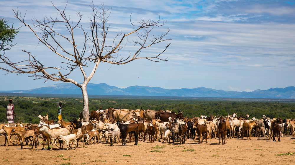 Cattle gathering in the Omo Valley, October 2017 © Kelly Fogel
