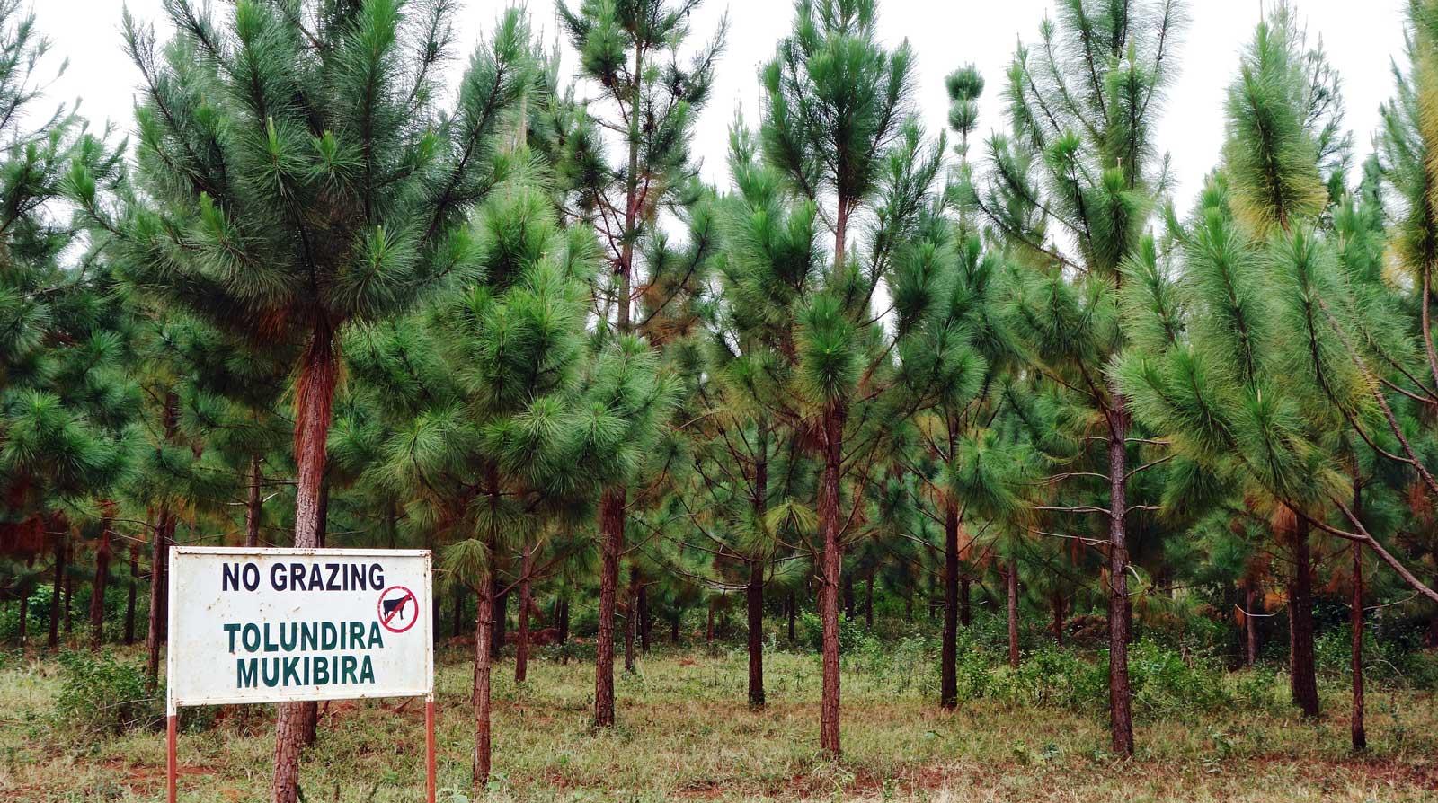 Green Resources' pine plantation at Bukaleba. Credit: Kristen Lyons / The Oakland Institute.
