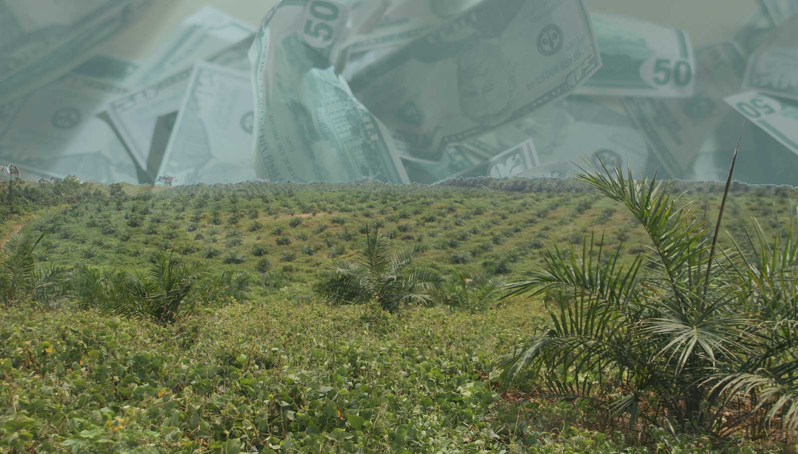 Recently planted oil palm plantation near Lokumete with crumpled money