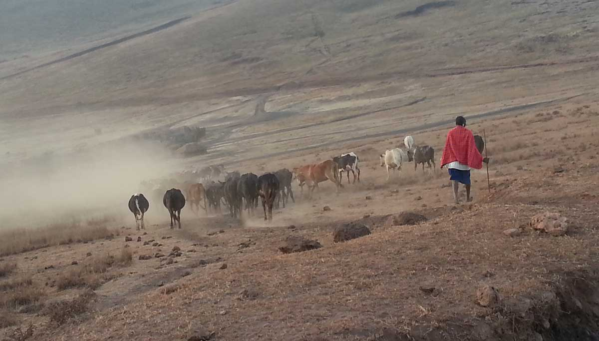 Maasai herders with their cattle inside the Ngorongoro Conservation Area. Credit: The Oakland Institute