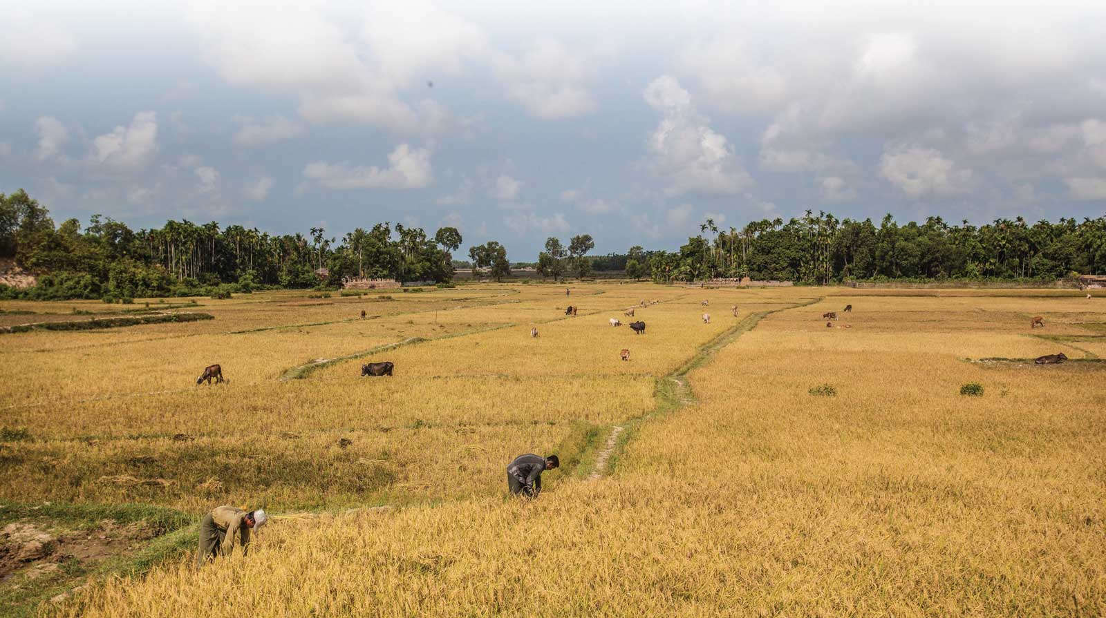 Maungdaw, Myanmar - Farm laborers and livestocks in a paddy field. Image: FAO / Hkun La