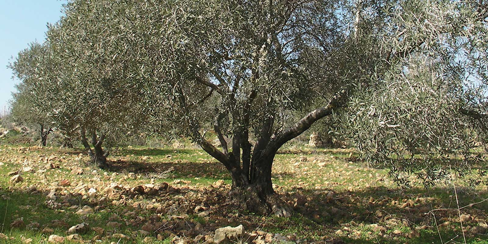 Olive trees in the village of Anin. Credit: The Oakland Institute