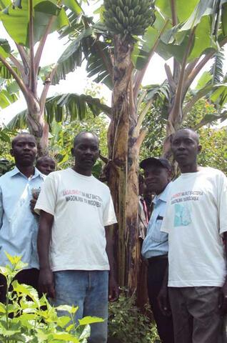 Lutte Contre la Maladie du Flétrissement de la Banane en République Démocratique du Congo (RDC)