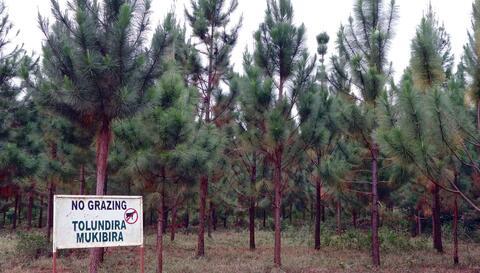 Plantation at Bukaleba. Credit: Kristen Lyons