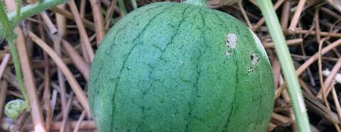 Jadu'I watermelon in the planters. Credit: Vivien Sansour