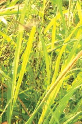 System of Rice Intensification (SRI) in Mali
