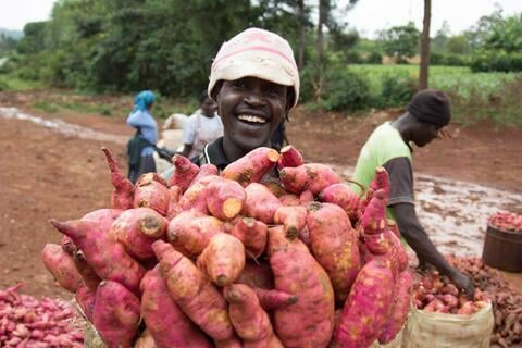 Sweet potato harvest. Credit: Aminah Jasho, KHCP.