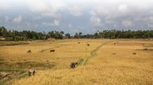 Maungdaw, Myanmar - Farm laborers and livestock in a paddy field. Image: FAO / Hkun La