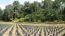 SAL palm nursery