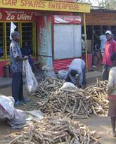 Drought Prone Malawi and Zambia Turn to Cassava