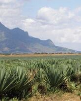 Growing Organic Pineapples in Tanzania